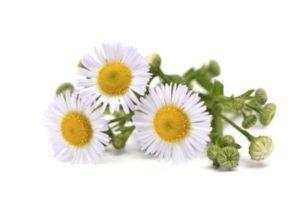 camomilla-fiori